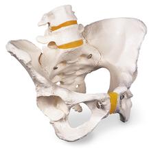 Becken-Skelett, weiblich