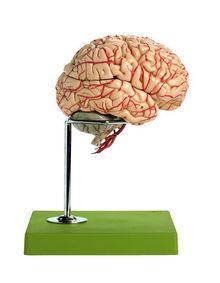 BS 23/1 Gehirn mit Arterien