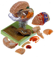 BS 25/1 15-teiliges Gehirnmodell + Rindenfelder