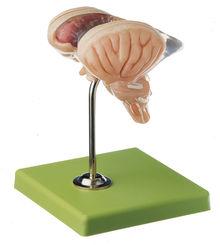 BS 25/2 8-teiliges Hirnstammmodell