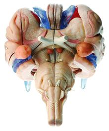 BS 25/2-T 12-teiliges Hirnstammmodell