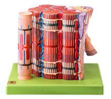 BS 36/1 Quergestreifte Muskelfaser mit Funktionsmodell
