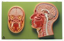 BS 43 Median- und Frontalschnitt vom Kopf