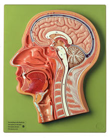 BS 6/1 Medianschnitt des Kopfes