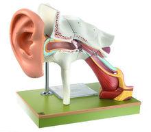 DS 1 Gehörorgan mit Ohrmuschel