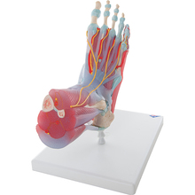 Fußskelett mit Bändern + Muskeln, 6-teilig