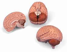 Gehirnmodell, 2-teilig
