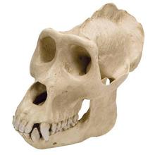 Gorillaschädel, männlich, Replikat