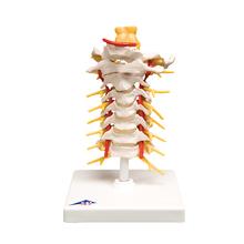 Halswirbelsäule, beweglich