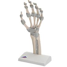 Handskelett Modell mit elastischen Bändern
