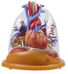 HS 8/2 Herz-Lungen Tischmodell