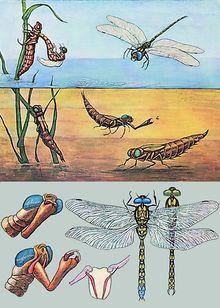 Lehrtafel Blaue Libelle