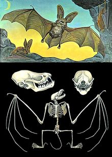 Lehrtafel Fledermaus