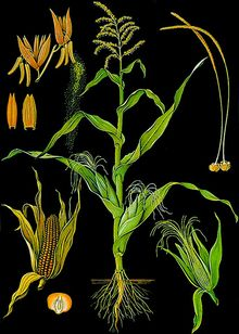 Lehrtafel Mais