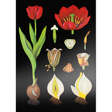 Lehrtafel Tulpe, leicht glänzend
