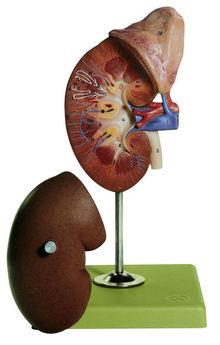 LS 1 Rechte Niere und Nebenniere