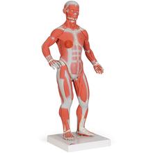 Muskelfigur 1/3 Größe, 2-teilig