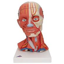 Muskelkopf, inkl. Gehirn, 5-teilig