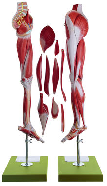 NS 10 Muskelbein mit Beckenansatz