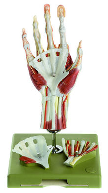 NS 13/1-E Chirurgisches Handmodell in didaktischer Bemalung