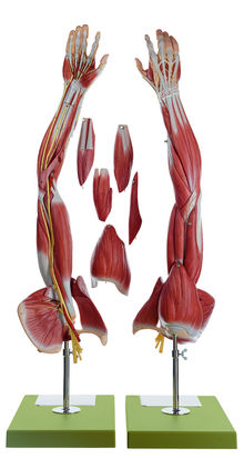 NS 15 Muskelarm mit Schultergürtel