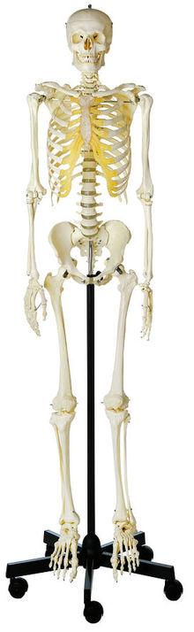 QS 10/1 Künstliches Homo-Skelett, männlich