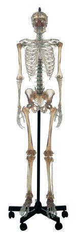 QS 10/12T Künstliches transparentes Homo-Skelett