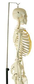 QS 10/13 Künstliches Homo-Skelett, weiblich