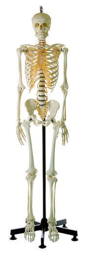 QS 10/14 Künstliches Homo-Skelett, männlich