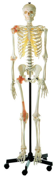 QS 10/6 Künstliches Homo-Skelett