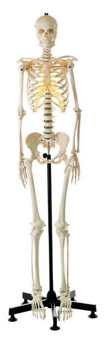 QS 10/7 Künstliches Homo-Skelett, weiblich
