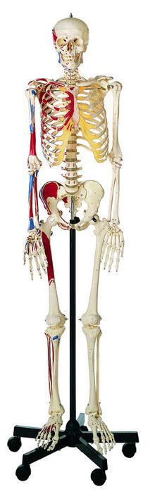 QS 10/9 Künstliches Homo-Skelett