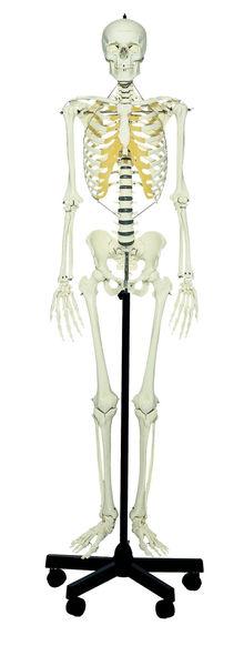 QS 10/E Künstliches Homo-Skelett