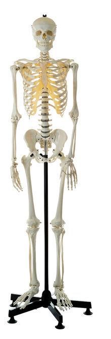 QS 10 Künstliches Homo-Skelett
