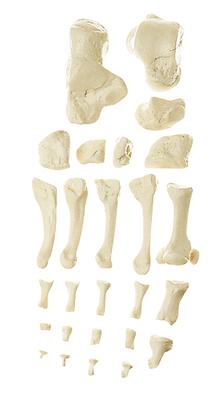 QS 19/10 Fußknochen
