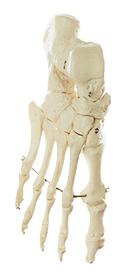 QS 19/11 Fußknochen, montiert