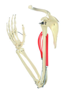 QS 55 Muskelfunktion am Oberarm