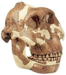 S 1 Schädelrekonstruktion von Paranthropus boisei