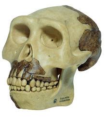 S 2 Schädelrekonstruktion von Homo erectus