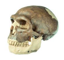 S 3 Schädelrekonstruktion von Homo neanderthalensis
