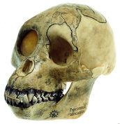 S 5/1 Schädelrekonstruktion von Proconsul africanus