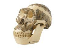 S 5 Schädelrekonstruktion von  Australopithecus africanus