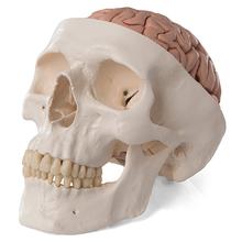 Schädel mit Gehirn, 8-teilig