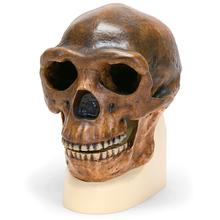 Schädelreplikat Homo erectus pekinensis
