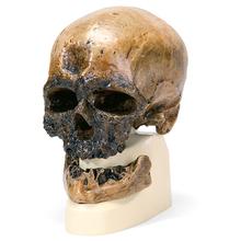 Schädelreplikat Homo sapiens