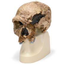 Schädelreplikat Homo steinheimnensis