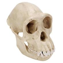 Schimpansenschädel, weiblich, Replikat