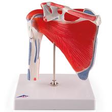 Schultergelenkmodell mit Rotatorenmanschette