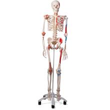 Skelett Luxus-Sam, Rollenstativ