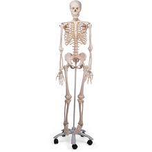 Skelett Stan, Rollenstativ